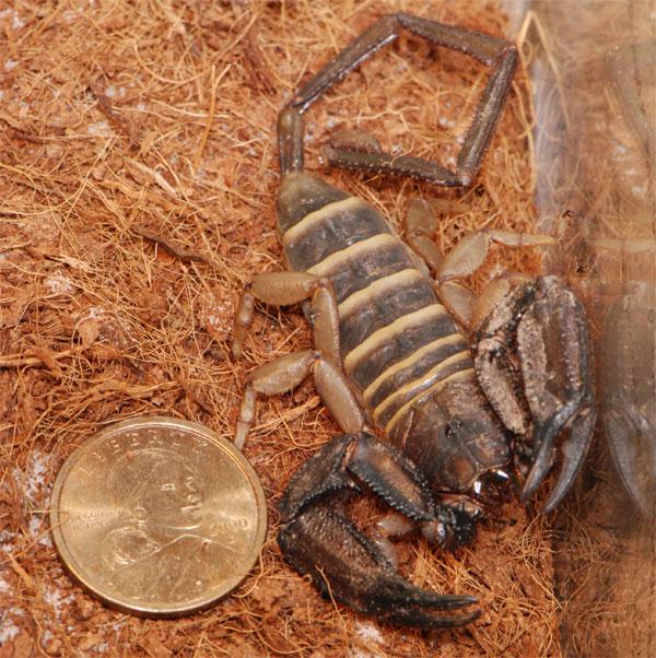 H. paucidens, M/F? Bug2
